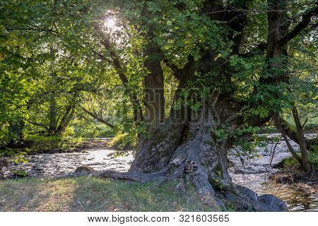 Old Beech Tree Near Flowing  Olt River In Transylvania, Romania At Sunset.