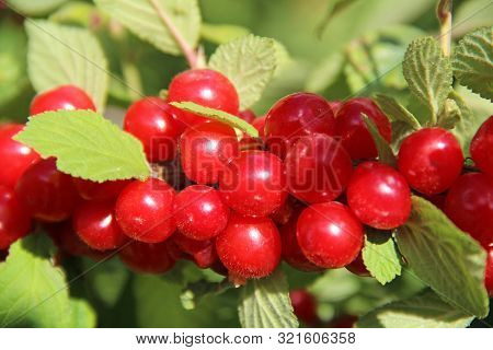 Red Nanking Cherries On A Tree In Nature In The Early Summer. Prunus Tomentosa, Cerasus Tomentosa.
