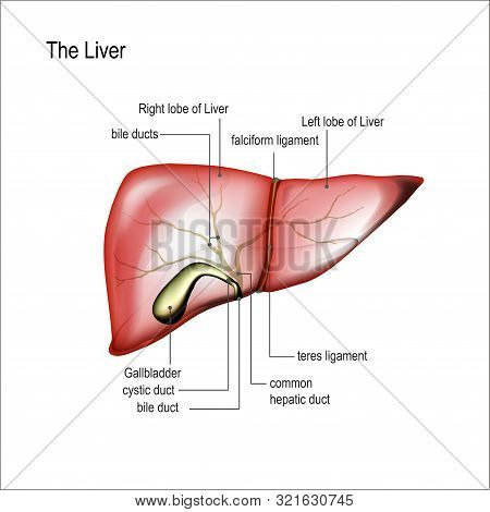 Realistic Human Liver And Gallbladder Illustration With Annotations On White Isolated. For Liver Pai