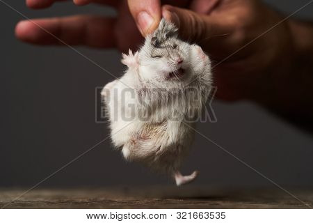 Little Domestic Hamster On Hand. Djungarian Dwarf Hamster