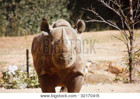 Rhinocerous Straight On