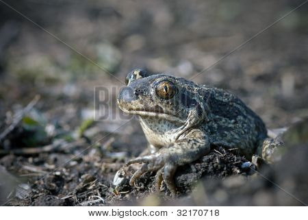 Spade Footed Toad