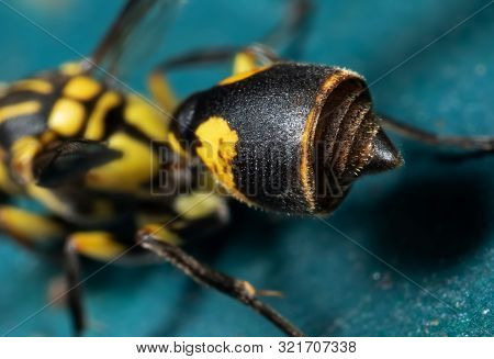 Macro Photography Of Abdomen And Stinger Of Wasp On Turquoise Floor