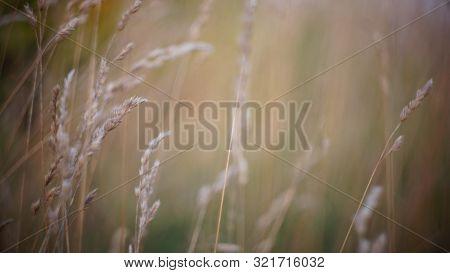 Autumn Background. Autumn Field Spikes Fog Foreground Blurred Background Bokeh. Autumn Melancholy No