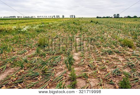 Dutch Landscape With A Large Field With Organically Grown Onions In Converging Long Rows Intersperse