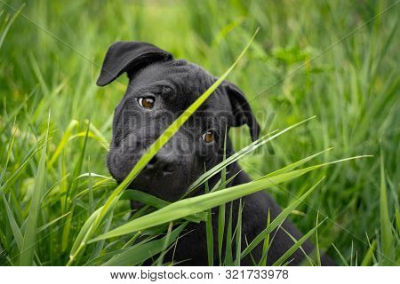Portrait Of A  Cute Puppy Staff Bull Dog, Playing In Green Grass, Sad Looking,  For A Walk In The Su