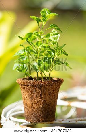 Watercress With Coconut Coir Fiber Pot On Table In The Garden, Organic Vegetables