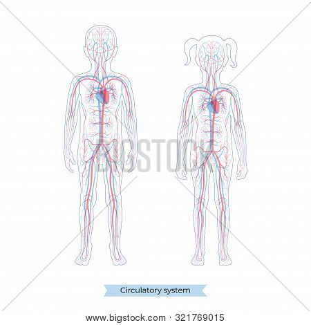 Vector Isolated Illustration Of Human Arterial And Venous Circulatory System Anatomy In Boy And Girl
