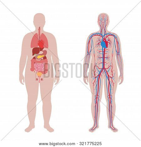 Vector Isolated Illustration Of Human Internal Organs And Circulatory System In Obese Man Body. Stom