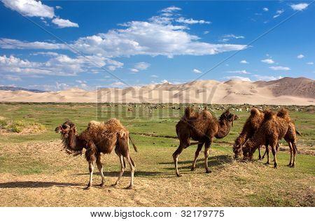camels dune desert - mongolia
