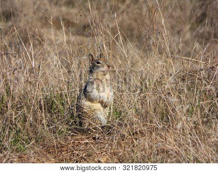 Ground squirrel with slight gangsta lean pose poster