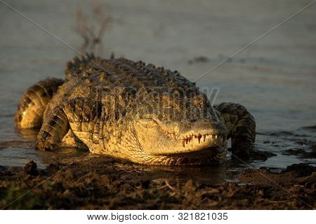 Portrait Of Nile Crocodile (crocodylus Niloticus) On Riverbank With Last Light Of Day -kruger Nation