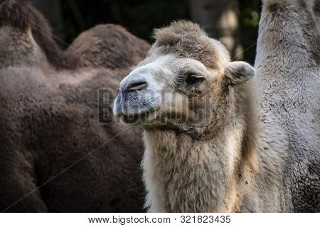 White Bactrian Camel, Camelus Bactrianus Is A Large, Even-toed Ungulate Native To The Steppes Of Cen