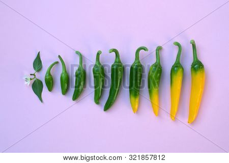 Progress of yellow hot peppers ripening on pink background. Food photography
