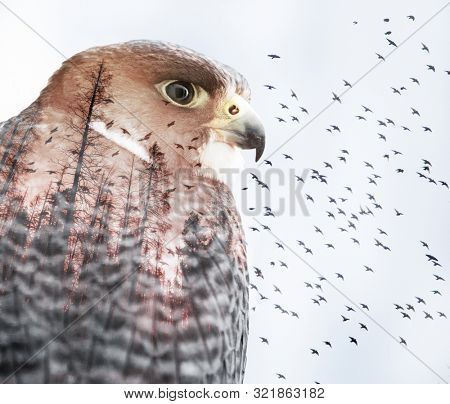 double exposure of a peregrine falcon with pine trees and birds flying