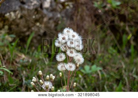 View Of Petasites Hybridus, Butterbur Against Blurred Background In The Swiss Alps