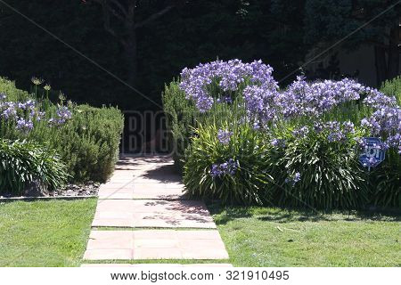 This Is An Image Of Blue Flowers Taken On A Sunny Day In California.