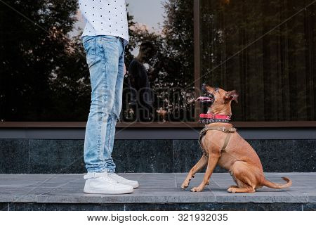 Young Male Person Teaches His Dog In The Town. Having Pets In A City Concept: Man Trains His Puppy O