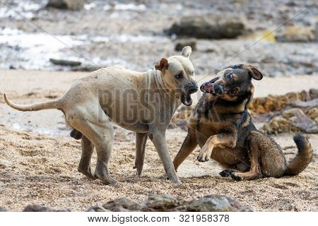 Two wild dogs are playing and fighting on a rocky beach in Thailand