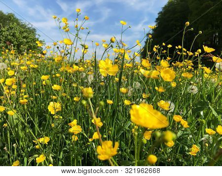 Yellow Meadow Buttercup Flowers In Summer