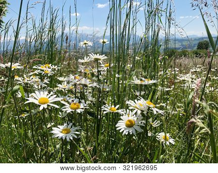 Green Meadow In Summer With Blooming Flower With Snowy Mountain