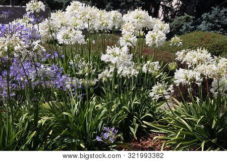 This Is An Image Of Blue And White Flowers Growing In Carmel, California.