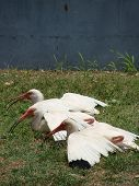 Three White ibis trying to cool down in the heat at local park poster