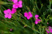 Dianthus Deltoides bright pink little flower with green foliage and shallow depth of field poster