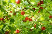 Berries of red plum. Red plums on a tree. A bountiful harvest. poster