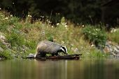The European badger is a powerfully built black, white, brown and grey animal with a small head and stocky body poster