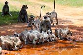 Monkeys in Anuradhapura drinking water, Sri Lanka poster