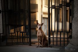 Dog In The City At The Metal Fence. Thai Ridgeback Outside, Urban Pet