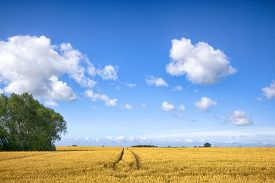 Landscape With Tracks In Golden Fields Under A Blue Sky In The Late Summer