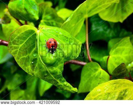 Seven-spot Ladybird (coccinella Septempunctata) On Common Ivy (hedera Helix) Leaves