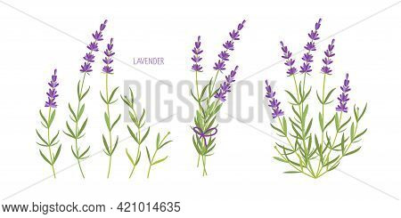 Lavender Plant Set. Vector Flat Grass Lavender. Lavender Flowers Collection Isolated. For Label, Pac
