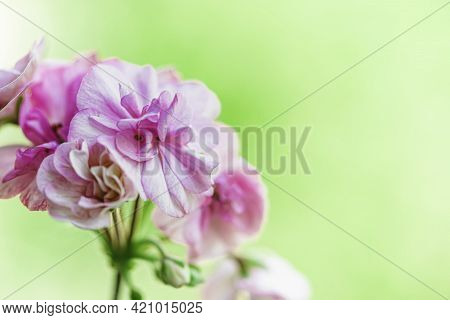 Pink Pelargonium, Also Known As Geranium. Gentle Pink Flowers Of Pelargonium, Ornamental And Medicin