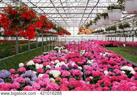 Front View Of Large Light Greenhouse With A Lot Of Seedlings And Flowers. Pink, Red, Yellow And Gree