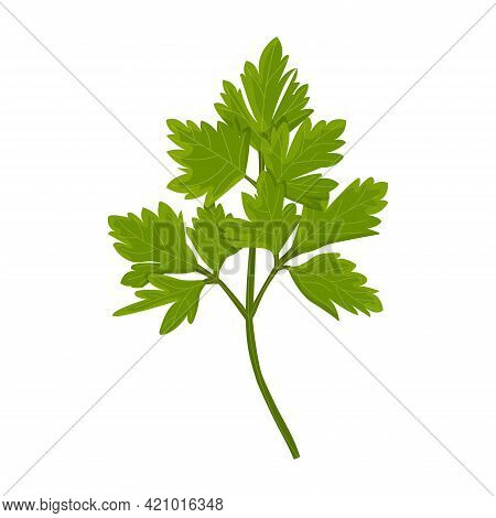 Green Parsley Branch Isolated On White Background