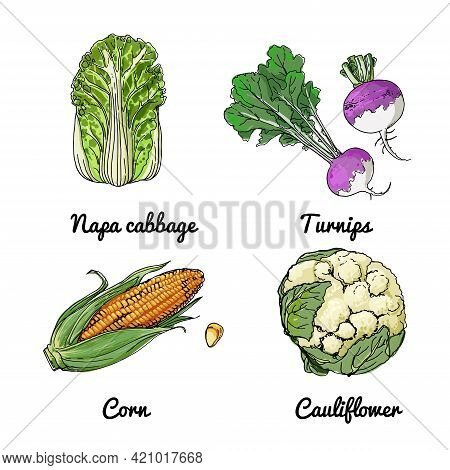 Vector Food Icons Of Vegetables And , Herbs. Colored Sketch Of Food Products. Chinese Cabbage, Turni