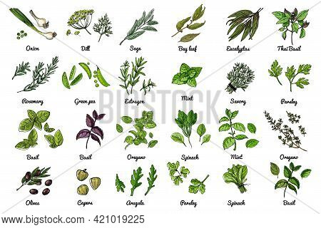 Vector Food Icons Of Herbs And Vegetables, Salads And . Colored Sketch Of Food Products.