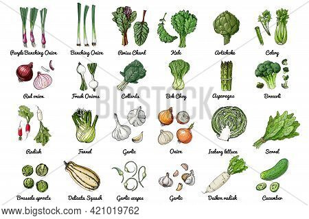 Vector Food Icons Of Herbs And Vegetables, Salads And . Colored Sketch Of Food Products. Ceberg Lett