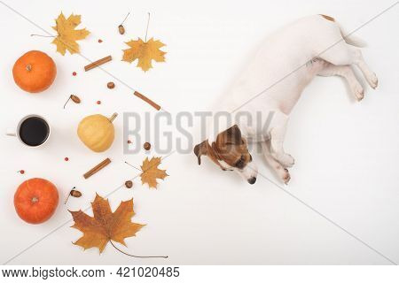 The Dog Lies Next To The Autumn Flat Lei. Pumpkins And Maple Leaves Viburnum And Cinnamon And Acorns