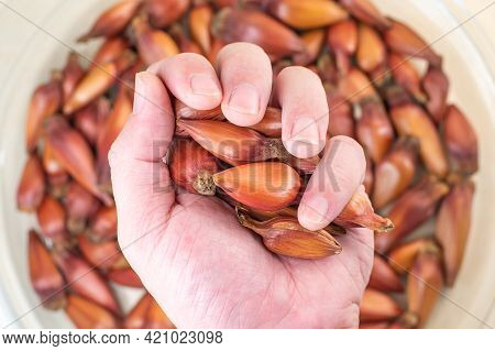 Hand Holding Some Brazilian Pinion Seeds, Araucaria Seeds Of Pinha. Oleaginous Carbohydrate From The