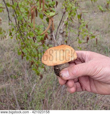 A Hand Holds A Mushroom With A White Leg And A Brown Hat. Side View . Blurred Background Of Birch Gr