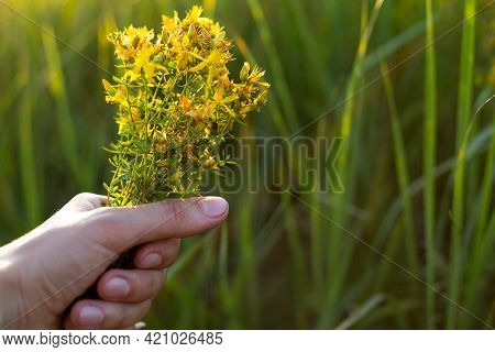 Bouquet Of St. John\'s Wort In Your Hand On A Background Of Grass In A Sunbeam. Medicinal Herbs, Tea