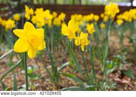 Many Beautiful Yellow Daffodils. Pollen On The Petals. Space For Text. The Sun Shines On The Daffodi