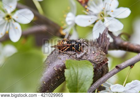 Hornet Among The Branches Of A Blossoming Apple Tree