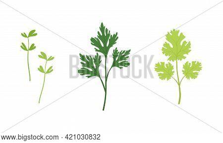 Salad Green Leaves And Leafy Vegetables Set, Watercress, Parsley, Fenugreek, Organic Vegan Healthy F