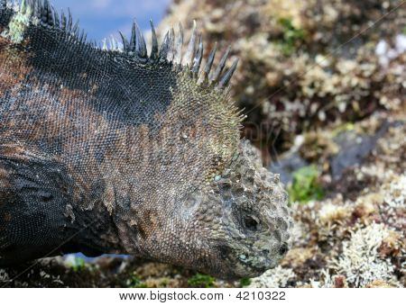 A galapagos marine iguana on the shores of the racky coastline poster