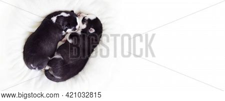 Two Sleeping Puppies Of Siberian Husky Are Sleeping On A White Blanket. Cute Purebred Newborn Dogs A